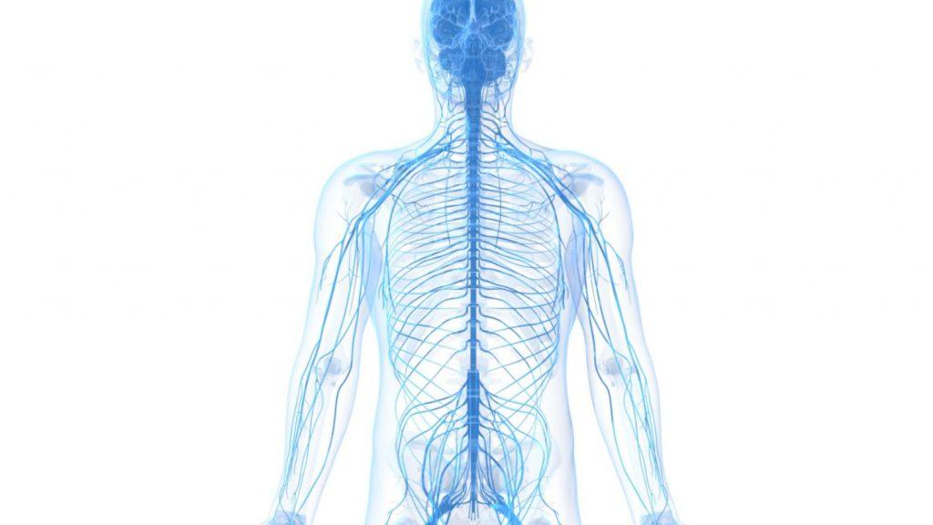 آناتومی ستون فقرات و سیستم عصبی محیطی یا PNS